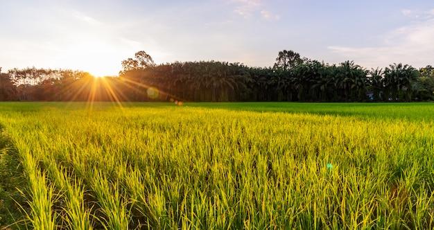 Panorámica del campo de arroz con amanecer o atardecer y destellos de rayos de sol