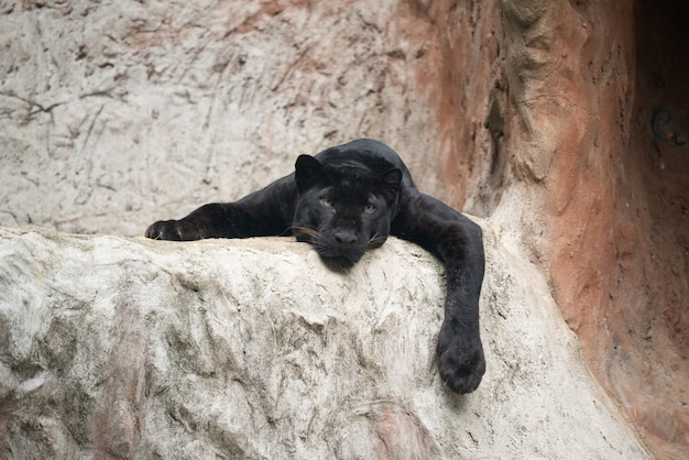Pantera negra perezosa
