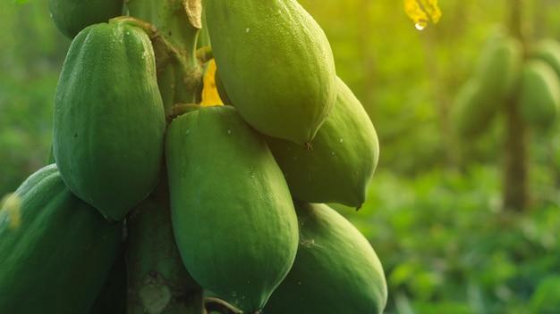 Papaya fresca en el árbol en la luz del sol