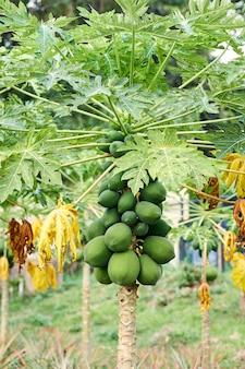 Papaya verde orgánica tropical con racimo de frutas