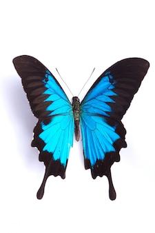 Papilio ulises mariposa azul sobre el fondo blanco.