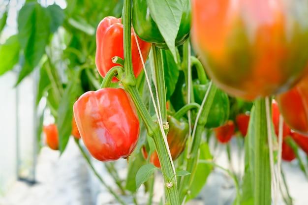 La paprika está creciendo al principio