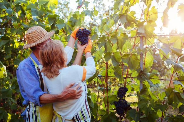 Par de agricultores recolectan la cosecha de uvas en la granja ecológica, feliz senior hombre y mujer revisando uvas