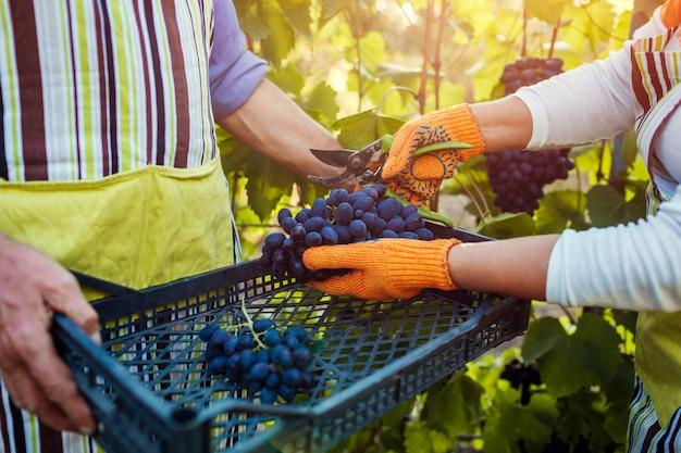 Par de agricultores recolectan la cosecha de uvas en la granja, feliz senior hombre y mujer poniendo uvas en caja
