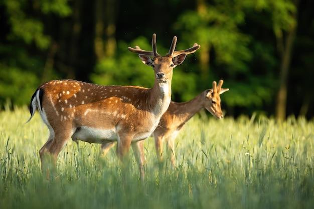 Par de ciervos en barbecho que se colocan en prado en el verano.