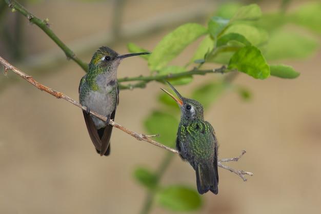 Par de colibríes abeja verde lindo de pie sobre una rama delgada con hojas en el fondo