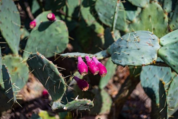 Par espinoso en cactus opuntia