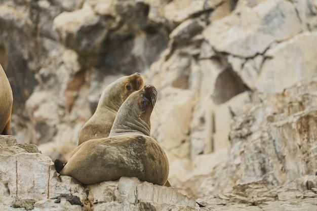 Par de leones marinos en la roca