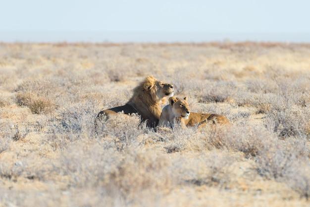 Par de leones tumbados en el suelo en el monte.