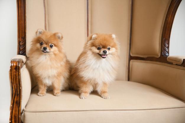 Par de lindos perros spitz sentados en el trono de la boda