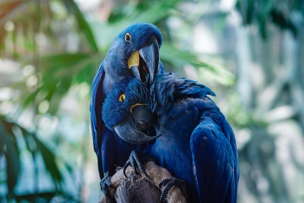 Par de loro guacamayo azul jacinto en el parque