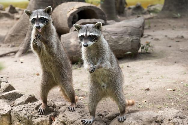 Par de mapaches