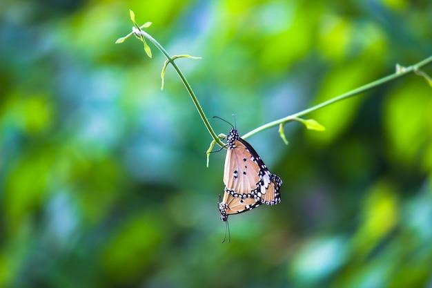 Un par de mariposas tigre llano apareándose en la rama de la planta durante la primavera