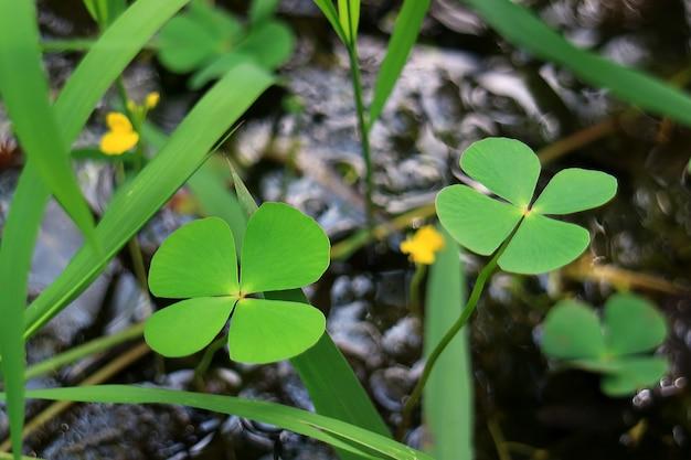 Par de plantas de helecho trébol de cuatro hojas en el campo, fondo borroso