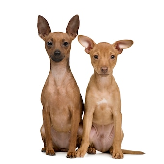 Par de retrato de perro pinscher miniatura aislado