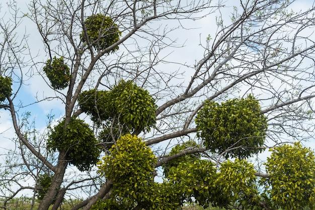 Parásito blanco del muérdago en las ramas de los árboles en el parque
