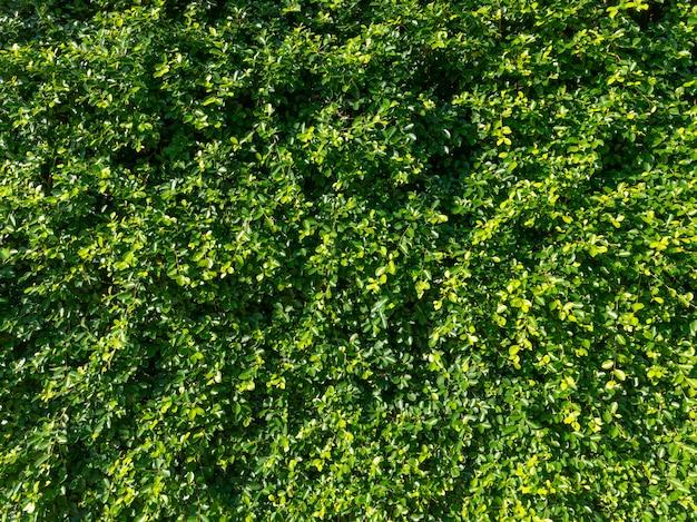 Pared de hoja verde natural, fondo ecológico