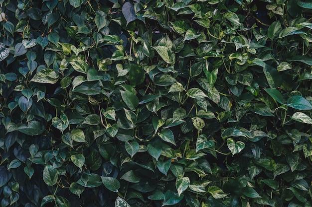 La pared de hojas verdes refleja el sol por la tarde y luego se ve muy fresca.