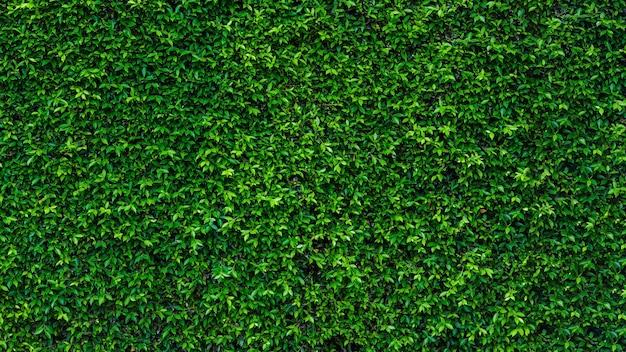 Pared de textura de hoja de hiedra verde en el jardín y copie el espacio.