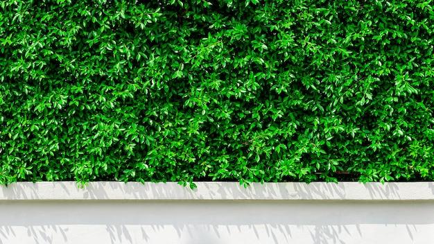 Pared verde del árbol y una sombra en la mañana.