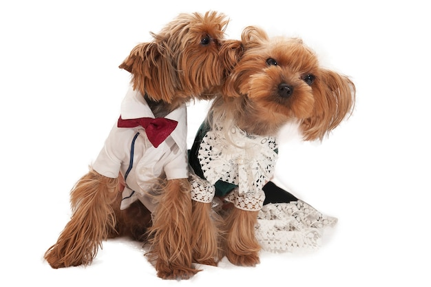 Pareja de adorables pequeños yorkshire terriers en trajes sobre fondo blanco.