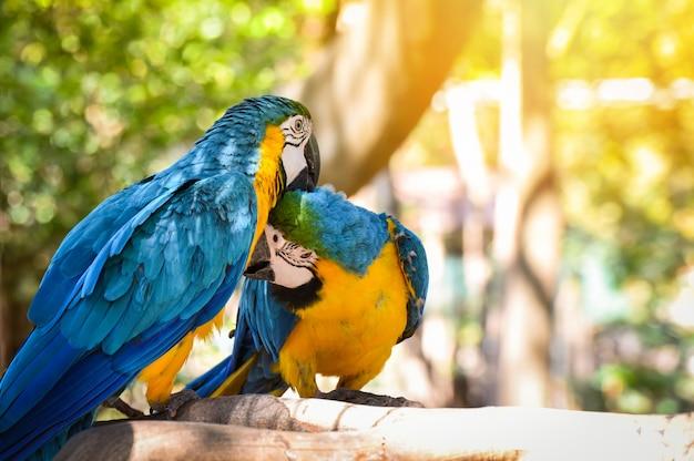 Pareja de aves en el árbol de la rama en la naturaleza / ala amarilla y azul, guacamayo, pájaro, loro, ara ararauna