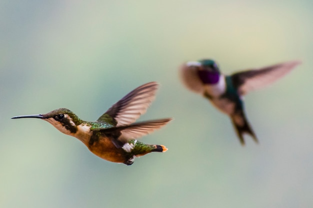 Pareja de colibríes