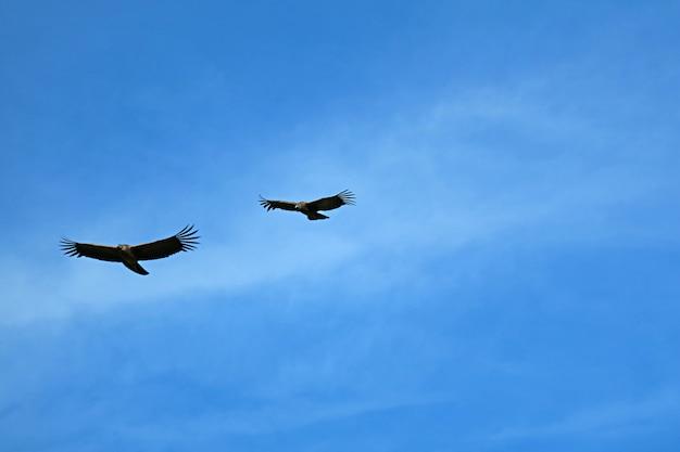 Pareja de cóndores andinos volando en el azul sobre el cañón del colca en la región de arequipa, perú, sudamérica