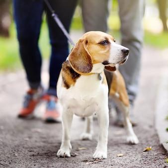Pareja joven con un perro beagle con cuello y correa caminando en el parque de verano