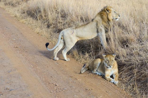 Pareja de leones y leonas en savannah, áfrica, parque nacional de masai mara en kenia