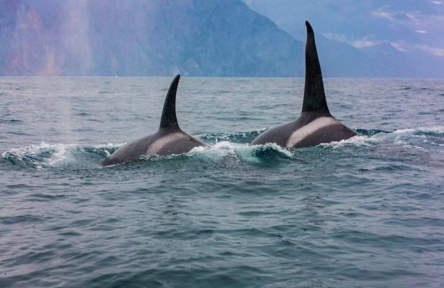 La pareja de orcas transitorias viaja a través de las aguas.