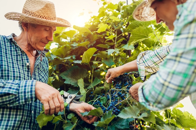Pares de los granjeros que controlan la cosecha de uvas en granja ecológica.