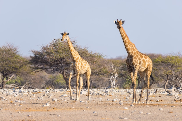 Pares de la jirafa que caminan en el arbusto en la cacerola del desierto, luz del día. wildlife safari en el parque nacional de etosha, el principal destino turístico en namibia, áfrica.