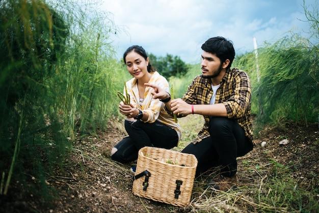 Los pares jovenes del granjero cosechan los espárragos frescos con la mano juntos puesta en la cesta.