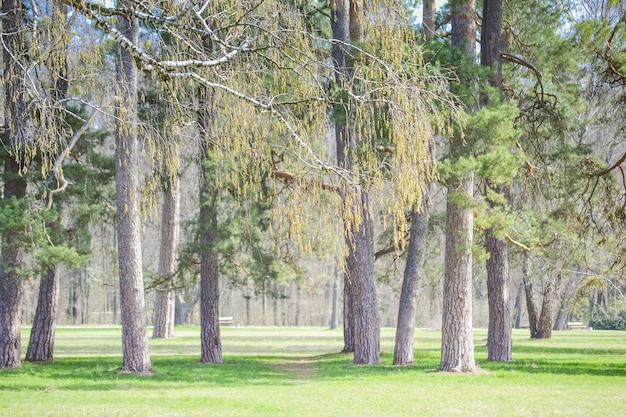 Parque de pinos en un filtro de día soleado, primavera verano
