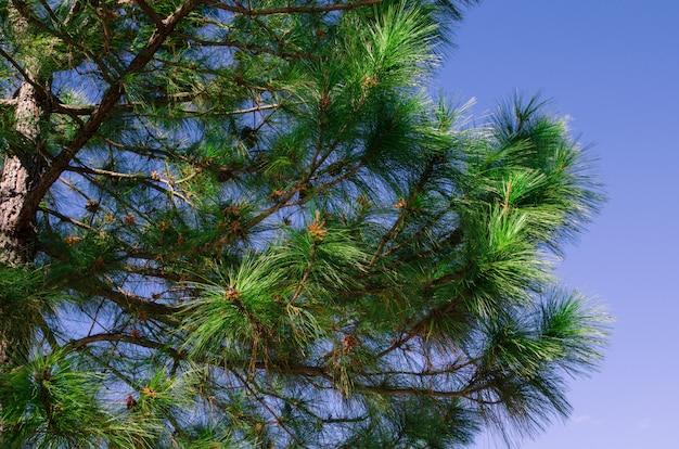 Parte de pino con cielo azul.