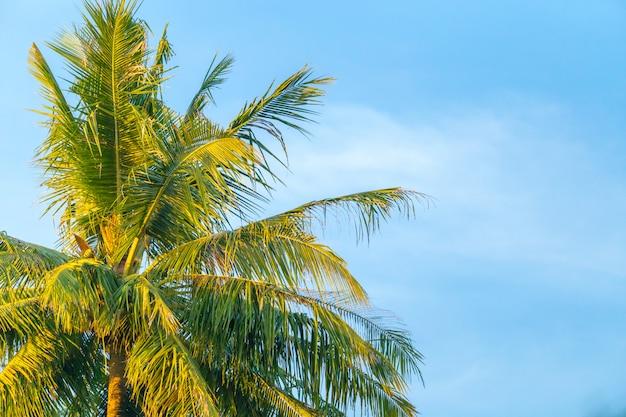 Parte superior del árbol de coco