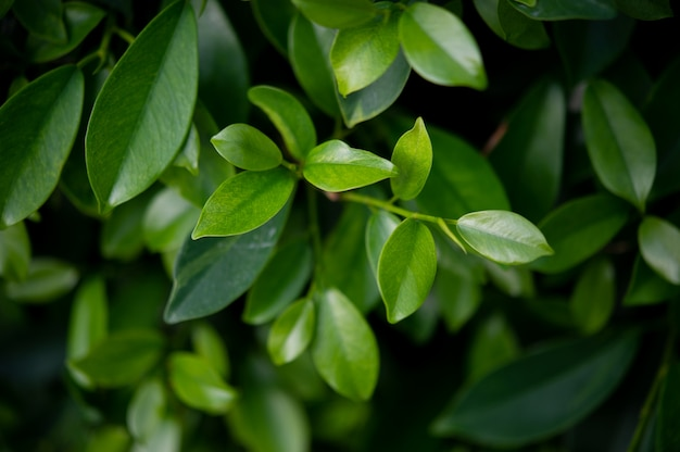 La parte superior de las hojas de té verde es rica y atractiva.