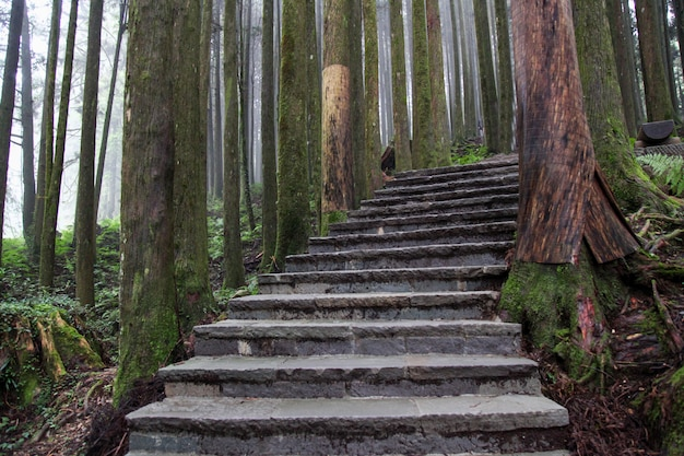 La pasarela de madera en el bosque de alishan en el parque nacional de alishan, taiwán