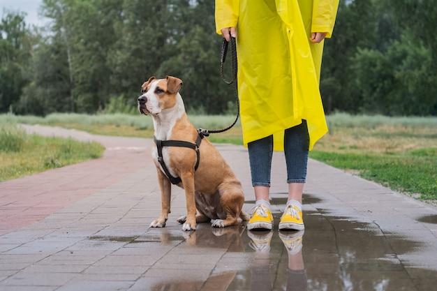Paseando al perro en gabardina amarilla en día lluvioso. persona de sexo femenino y perro staffordshire terrier en una correa de pie en el pavimento con charcos en el parque urbano en mal tiempo