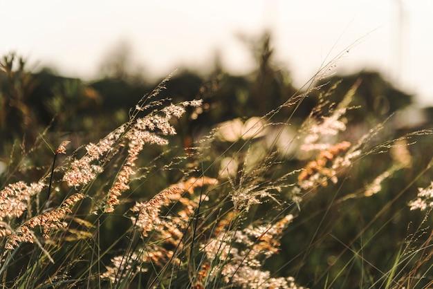 Pasto silvestre creciendo en la naturaleza.
