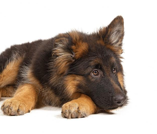 Pastor alemán cachorro aislado