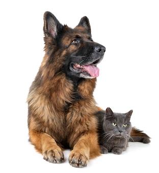 Pastor alemán y gato