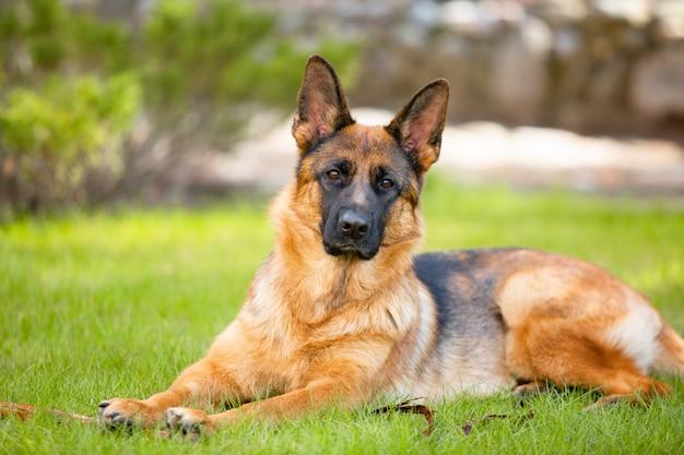Pastor alemán tirado en el césped del parque. retrato de un perro de raza pura.