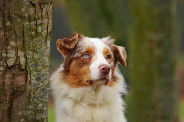 Pastor australiano, perro, en, el, pradera
