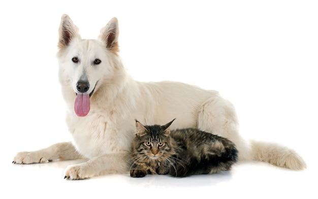 Pastor suizo y gato