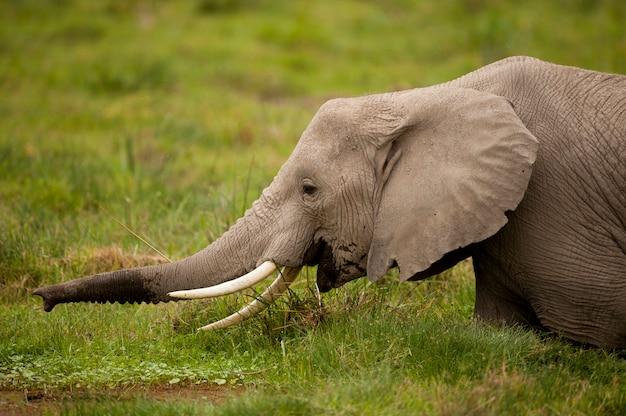 Pastoreo de elefantes