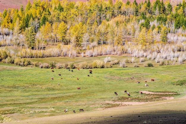 Pastoreo de ganado, caballos y vacas en el valle del río kyzylshin, república de altai rusia
