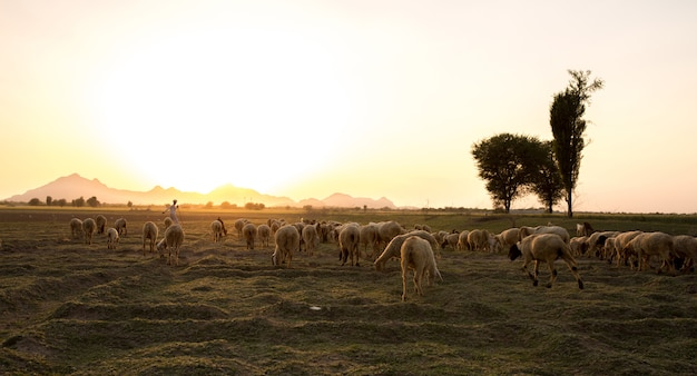 Pastoreo rural