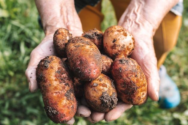 Patatas frescas cosechan manos de mujeres muy ancianas